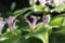 杜鵑草(ホトトギス)の花