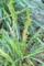 藪蘭(ヤブラン)の実