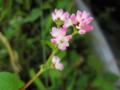[花]ミゾソバ