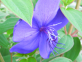[花]野牡丹