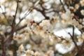 [花]冬至梅