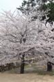 [花]桜 −松坂城跡(松阪公園)−