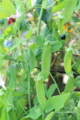 [花]エンドウ