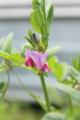 [花]カラスノエンドウ