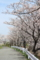 近所の桜並木
