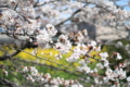 [花]近所の桜並木
