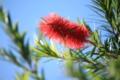 [花]ブラシの木