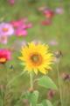 [花]ヒマワリ