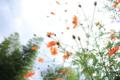 [花]黄花コスモス
