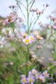 [花]シオン