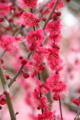 [花]しだれ梅