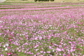 [花]コスモス畑