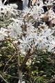 [花]シデコブシ