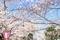 松坂城跡の桜