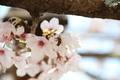 [花]松坂城跡の桜