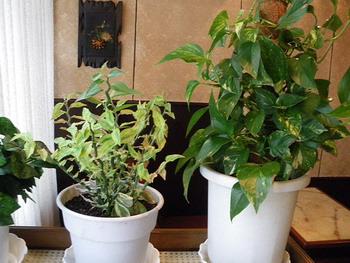 月ヶ瀬・観葉植物1