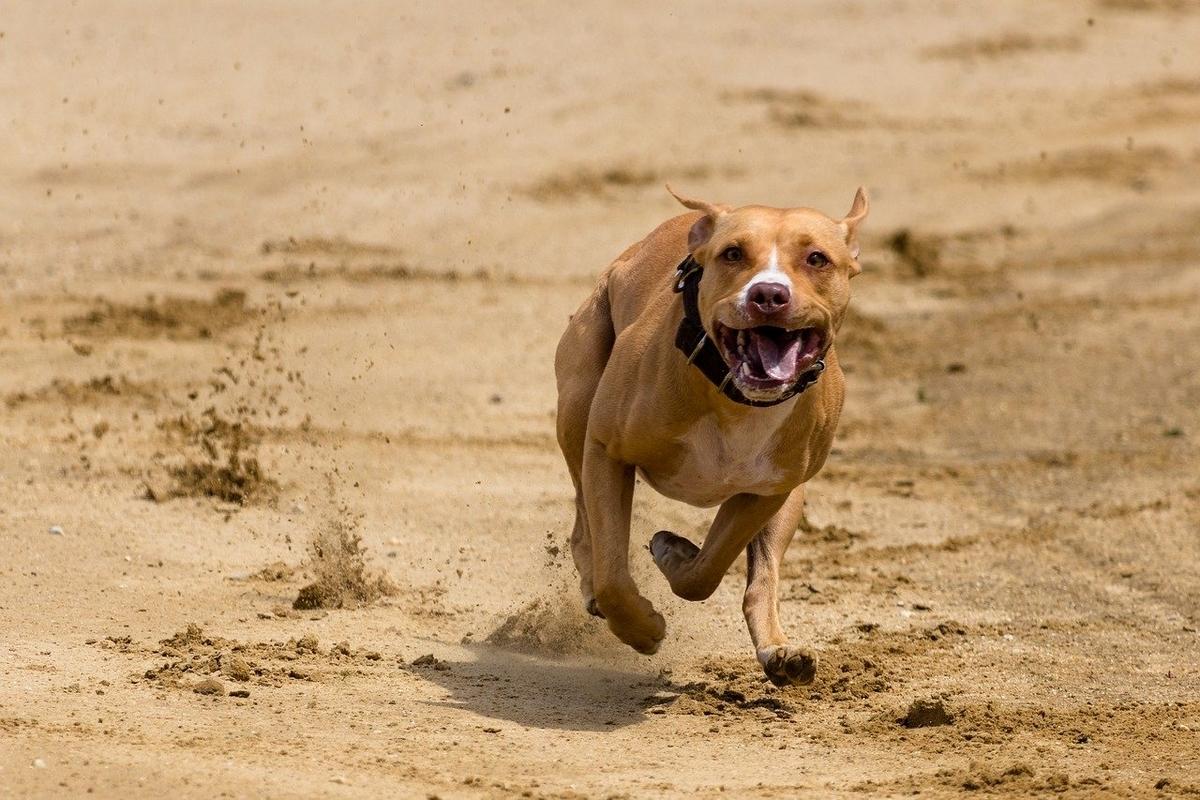 土を蹴立てて疾走する犬