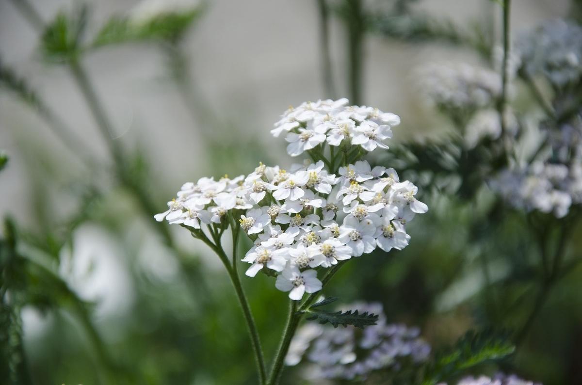 白い花。ノコギリソウ。薬草