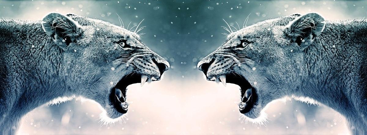 向かい合って牙を剥くライオン