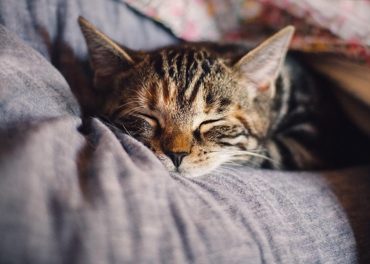 だっこされて眠くなっているネコ