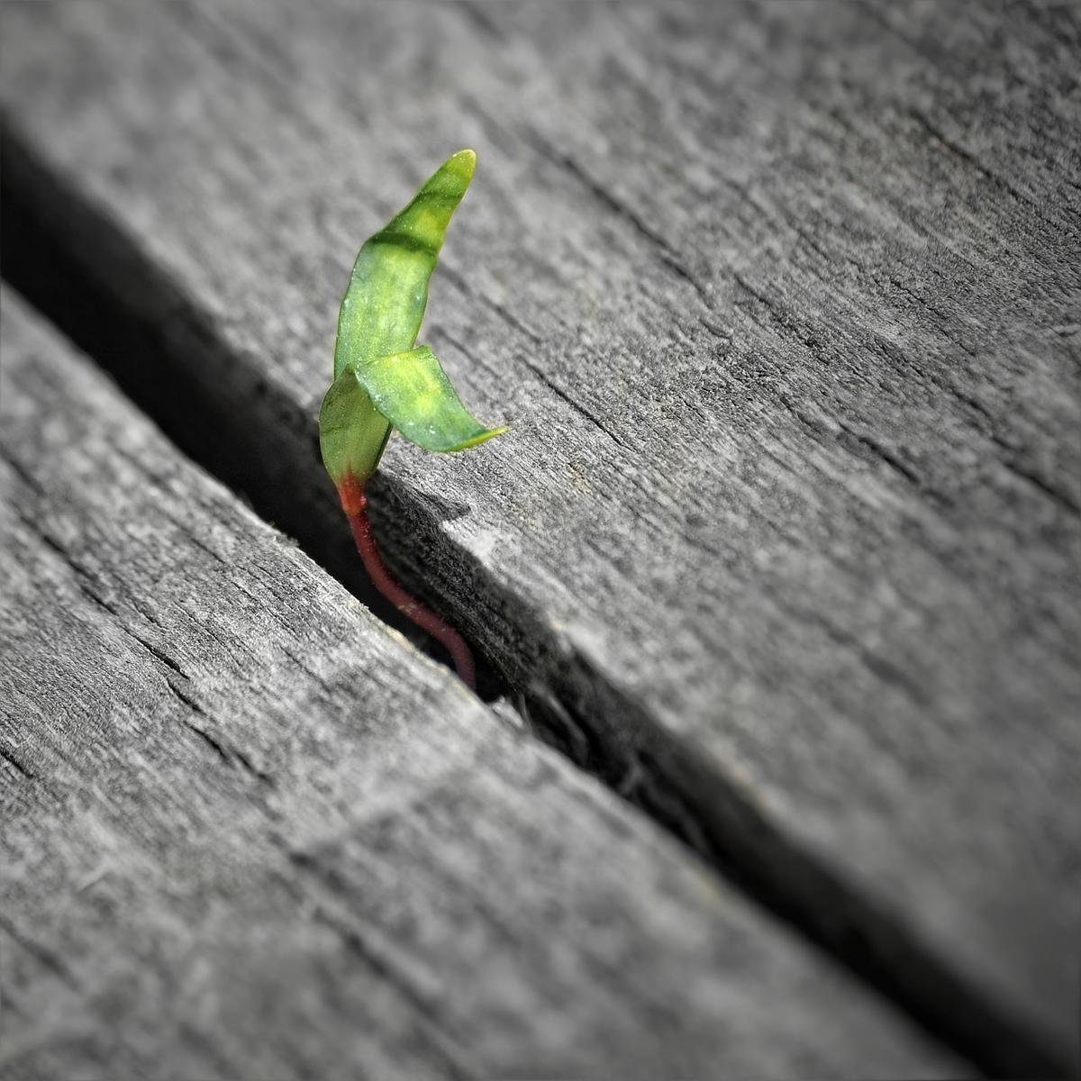 板の隙間から出てくる草の芽