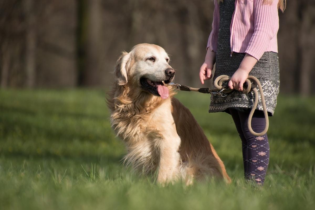 ゴールデンレトリバー、お利口さんの犬