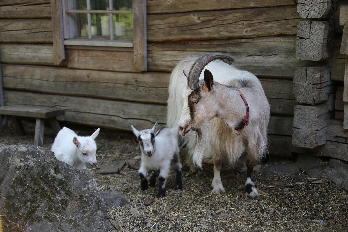 若手の育成、山羊の子育て