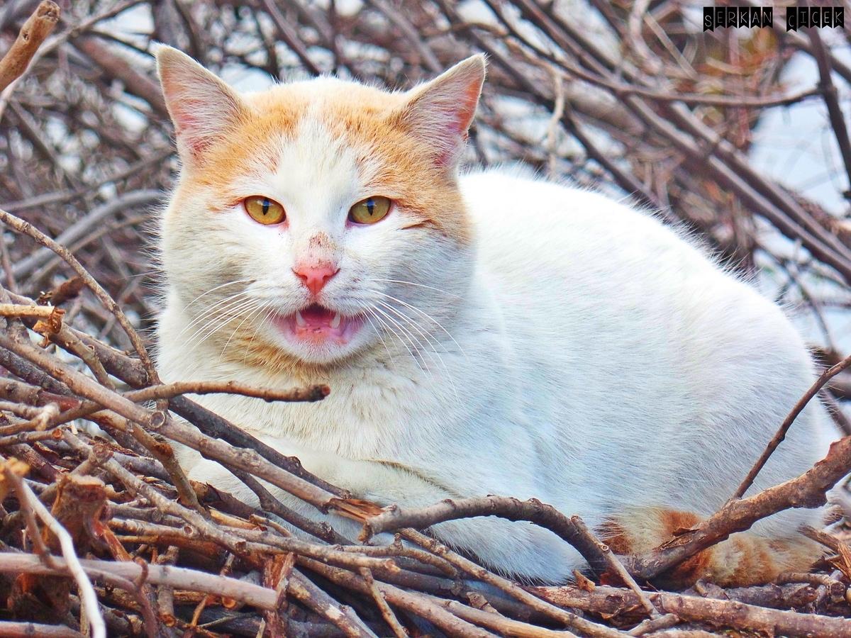 文句を言っているように鳴いているネコ