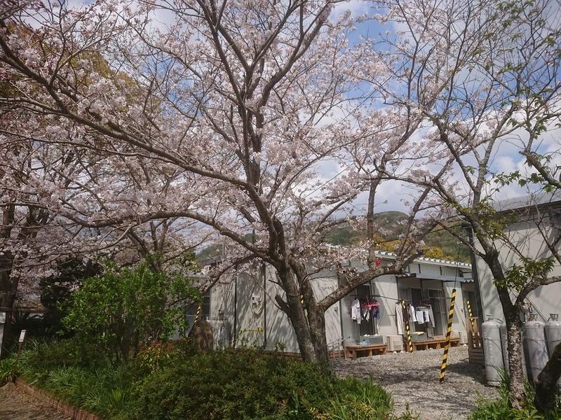 桜@宇和島