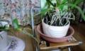 これが我が家の胡蝶蘭