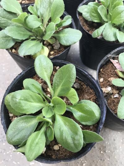 イングリッシュデージー 苗 植え付けサイズ