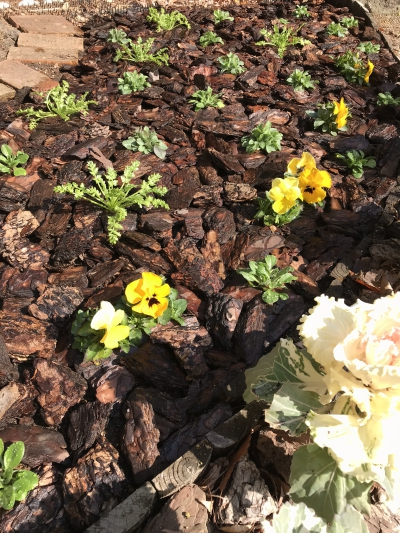 春花壇 植え付け