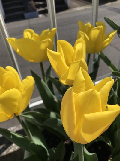 花 チューリップ 黄小町