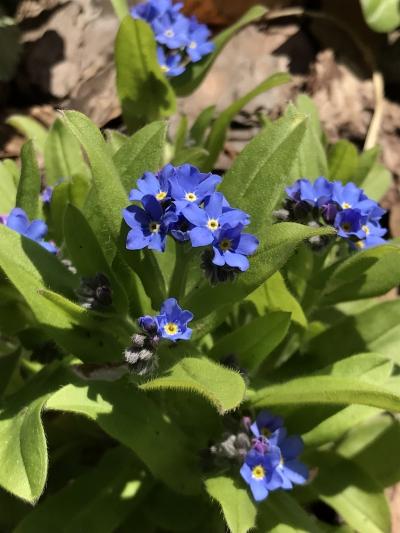 花 ワスレナグサ