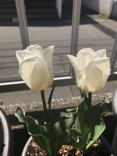 花 チューリップ カルガリー