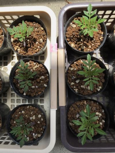 マリーゴールド 種まき 苗