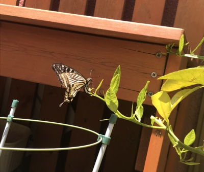 アゲハ 蝶
