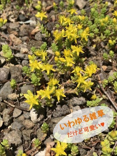 マンネングサ 花