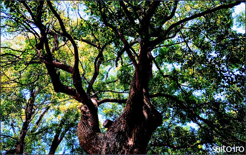 伊予市内の大樹