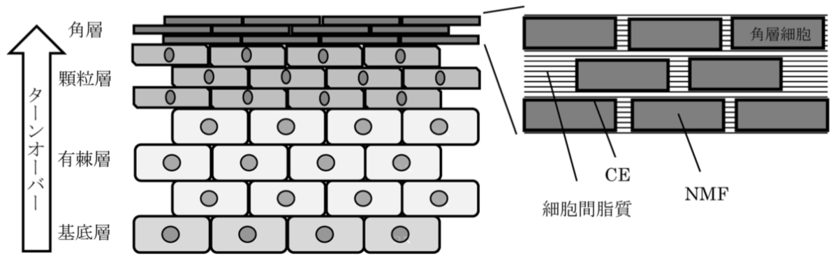 表皮および角層の構造