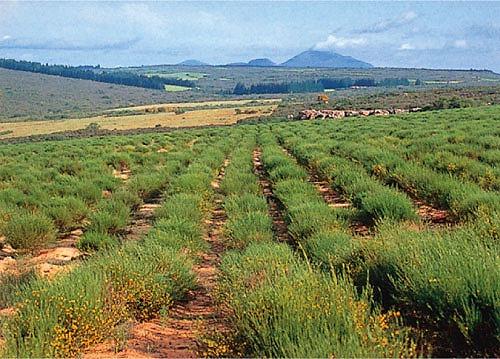南アフリカのルイボス畑から輸入しています