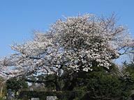 多磨霊園の桜