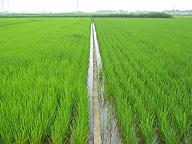 化学肥料を使用しない水田(右)と、慣行栽培の水田(茨城県で)。右の水田の農家曰く「うちの目標はローならぬノー・コスト経営」