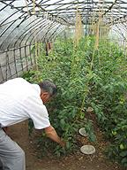 栄養週期農法によるトマトを示す石塚達之輔氏。6月29日、茨城県下館市にて