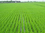 コシヒカリの圃場。作り手の数だけコシヒカリの品質はあるが、その違いは消費者には伝わらない。