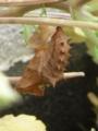 ツマグロヒョウモン(蛹)