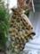 ツマグロヒョウモン(♀)