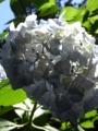 山上城跡公園 紫陽花