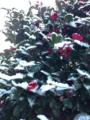 山茶花と初雪
