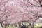 思川堤の思川桜